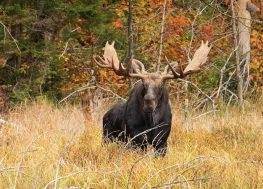Are Moose Dangerous?: What To Do When You See One