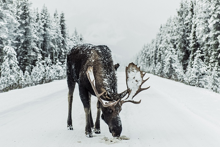 The Moose in the winter