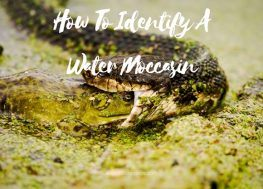 All You Need To Know On How To Identify A Water Moccasin